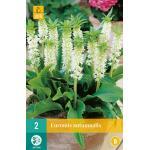 Eucomis autumnalis (2 stuks)