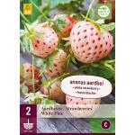 Fragaria White Pine - planten ananasaardbei