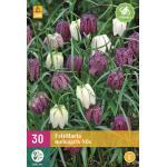 Fritillaria meleagris mix - kievitseitjes