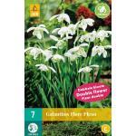 Galanthus Flore Pleno - sneeuwklokje