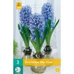 Hyacint Blue Pearl - kamercultuur