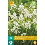 Hyacinthoides hispanica - boshyacint wit  (10 stuks)