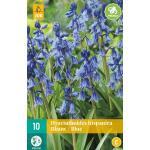 Hyacinthoides hispanica - boshyacint blauw