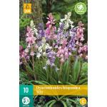 Hyacinthoides hispanica - boshyacint mix (10 stuks)