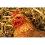 Zittende kip BRUIN - levensecht