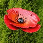 Klaproos - Red Poppy 75 cm - tuindeco