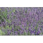 Lavendel - Lavandula angustifolia 'Hidcote'