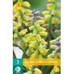 Muscari Golden Fragrance