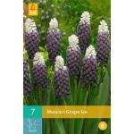 Muscari Grape Ice - blauw druifje
