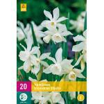 Narcissus triandrus Thalia - botanische narcis
