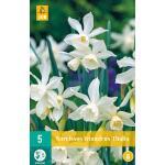 Narcissus triandrus Thalia - botanische narcis (5 stuks)