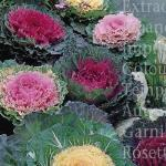 Cabbage Ornamental mixed