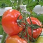 Tomaten trossteun wit
