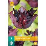 Tulipa Black Parrot - parkiet tulp