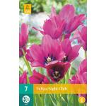 Tulipa Night Club - meerbloemige tulp (7 stuks)
