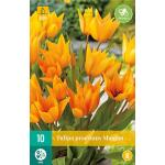 Tulipa praestans Shogun -  botanische tulp