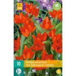 Tulipa praestans van Tubergen's var. - botanische tulp (10 stuks)