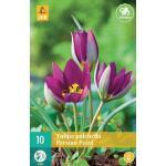 Tulipa pulch. Persian Pearl - botanische tulp (10 stuks)