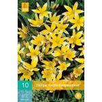 Tulipa Tarda -  botanische tulp (10 stuks)