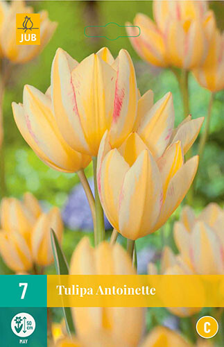 Tulipa Antoinettemeerbloemige tulp