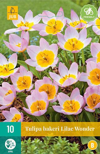 Tulipa bakeri Lilac Wonderbotanische tulp