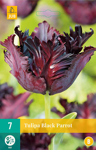 Tulipa Black Parrotparkiet tulp