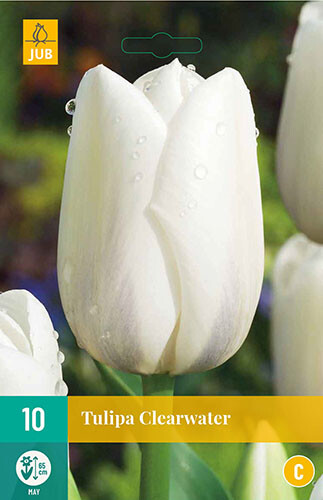 Tulipa Clearwaterenkele late tulp