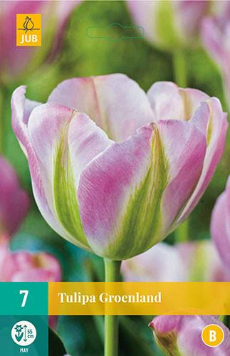 Tulipa Groenland Viridiflora tulp