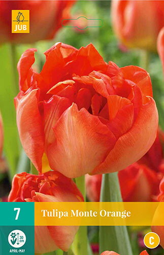 Tulipa Monte Orangedubbelvroege tulp