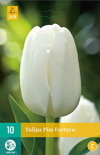Tulipa Pim Fortuyntriumph tulp