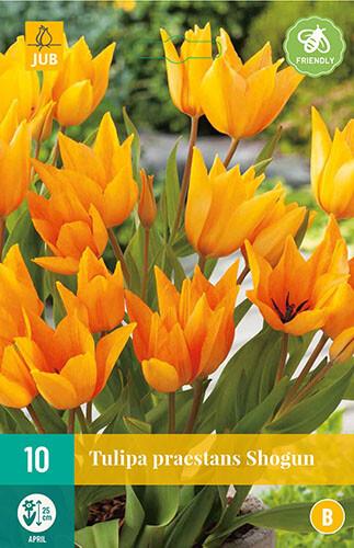 Tulipa praestans Shogun botanische tulp