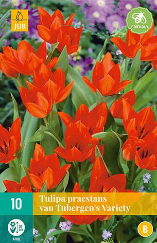 Tulipa praestans van Tubergens varbotanische tulp