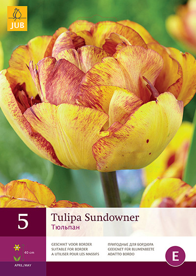 Tulipa SundownerTulp dubbellaat